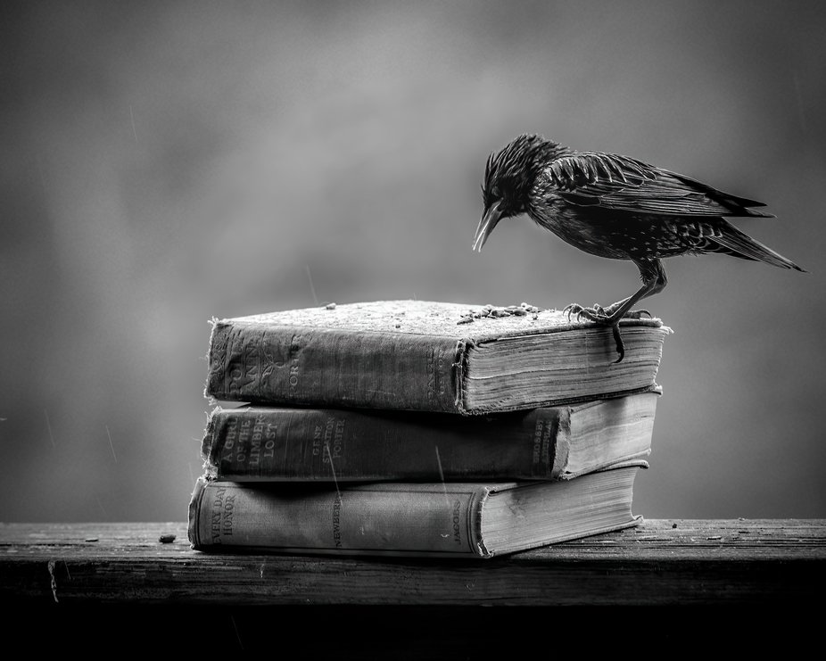 Starling in the rain with books