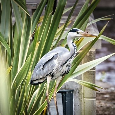 Great Blues Heron in Leeds