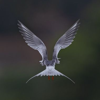 Foster Tern DSC05444