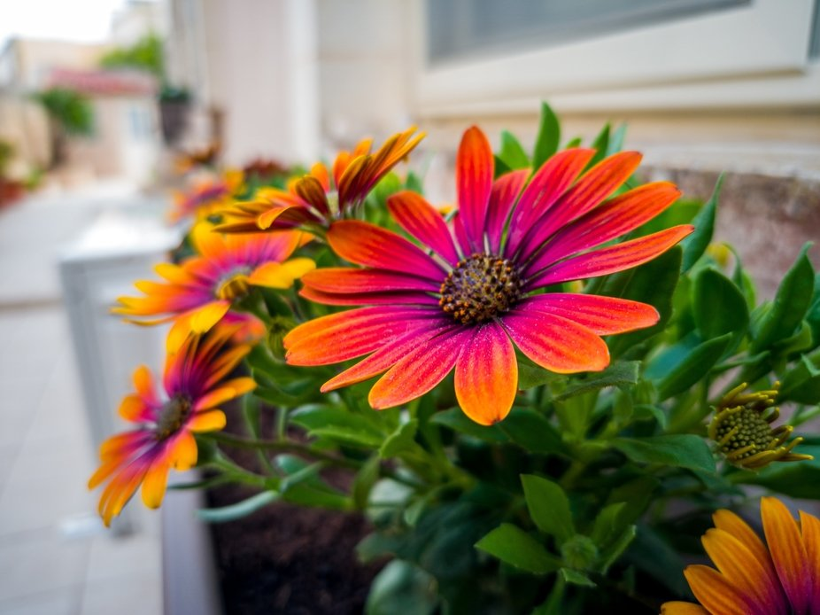 Colourful Daisies on the window sill