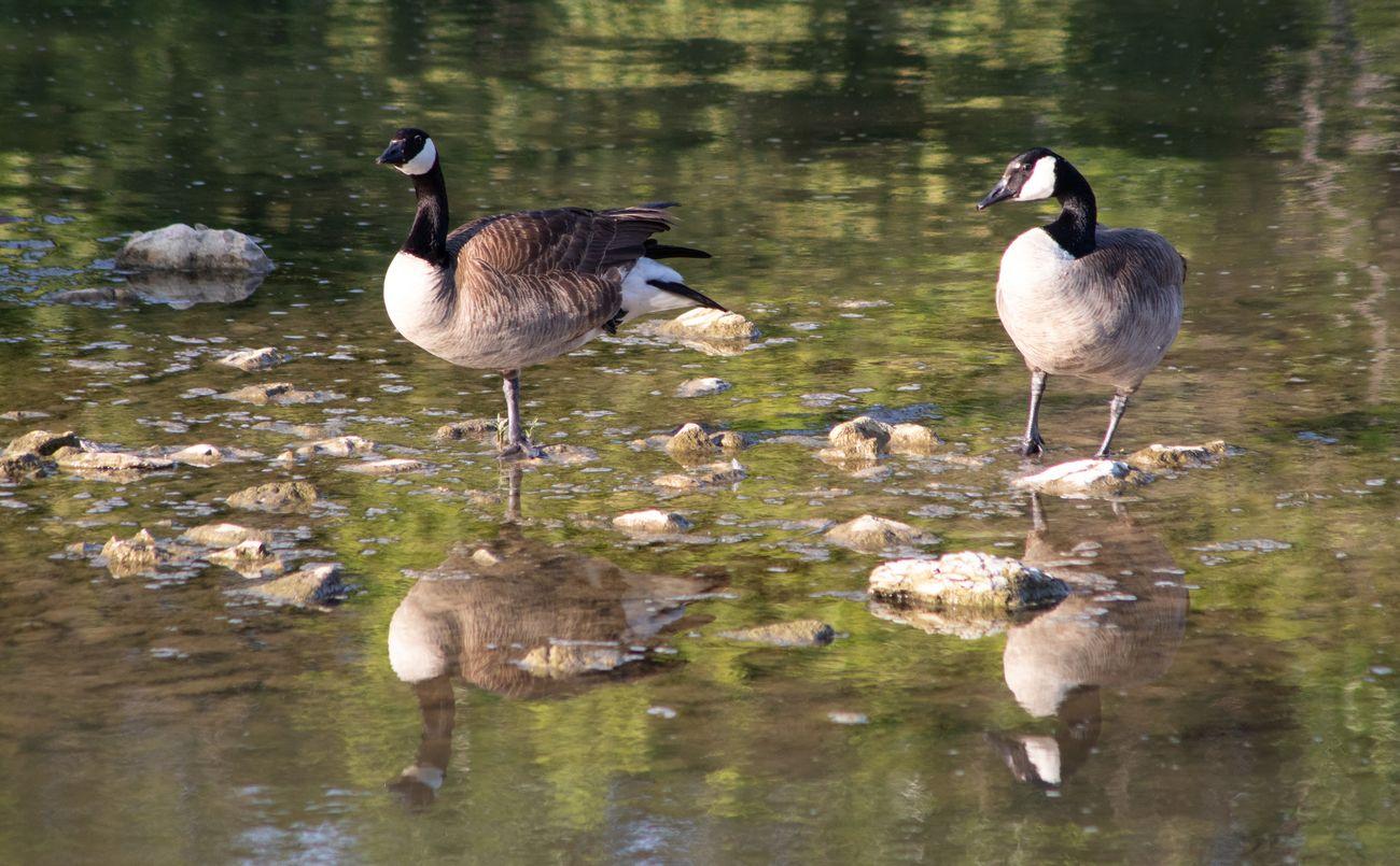 Geese at White Rock Lake near spillway