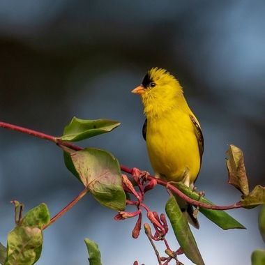 This male American Goldfinch is eating the delicate blossoms of a decorative vine in the morning sun. 