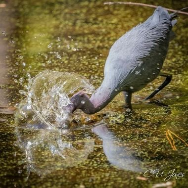 little blue heron on the hint for lunch