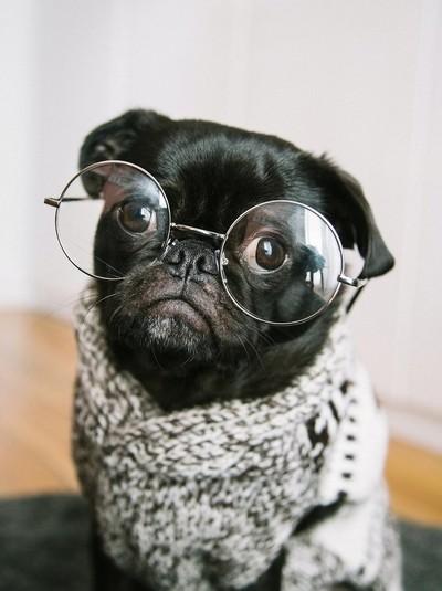 Funny Pug portrait dog with glasses