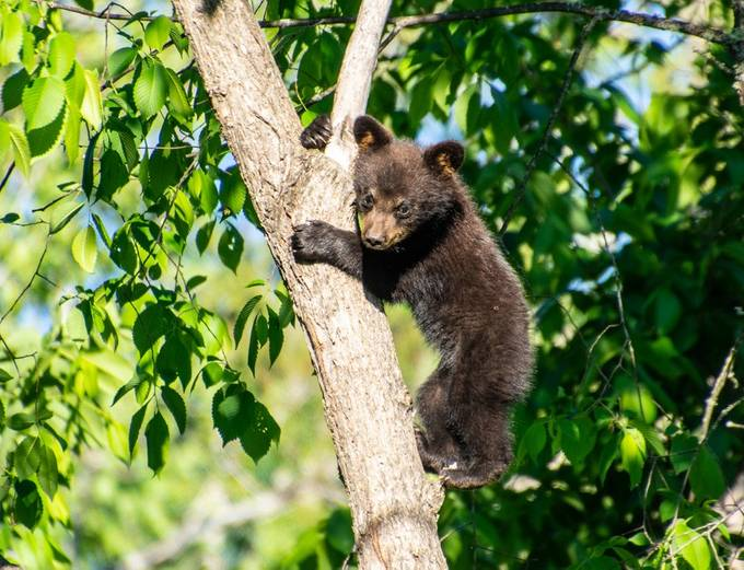Spring cub showing off its climbing ability
