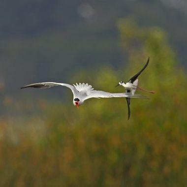 Tern harrased by Black-necked Stilt DSC09322
