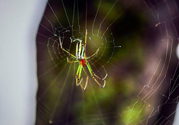 Orchad Of Weaver Spider (Leucauge Venusta) Araña de Huerto