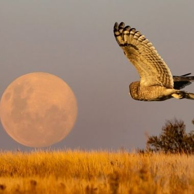Marsh Owl and Fullmoon rising May 2020