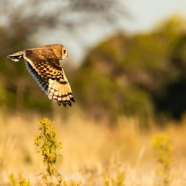Marsh owlOwl May - Dragon Fire Photography 2020
