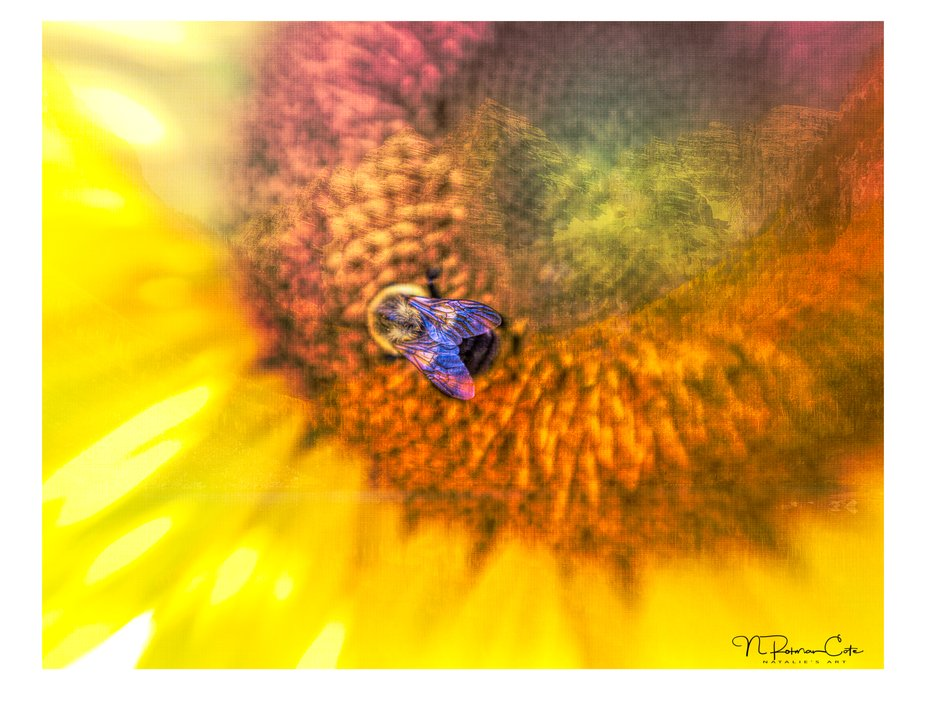 A close-up shot of Sunflower with a shimmery winged Bumblebee