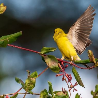 This American Goldfinch is one of several eating the pink blossoms in this image.