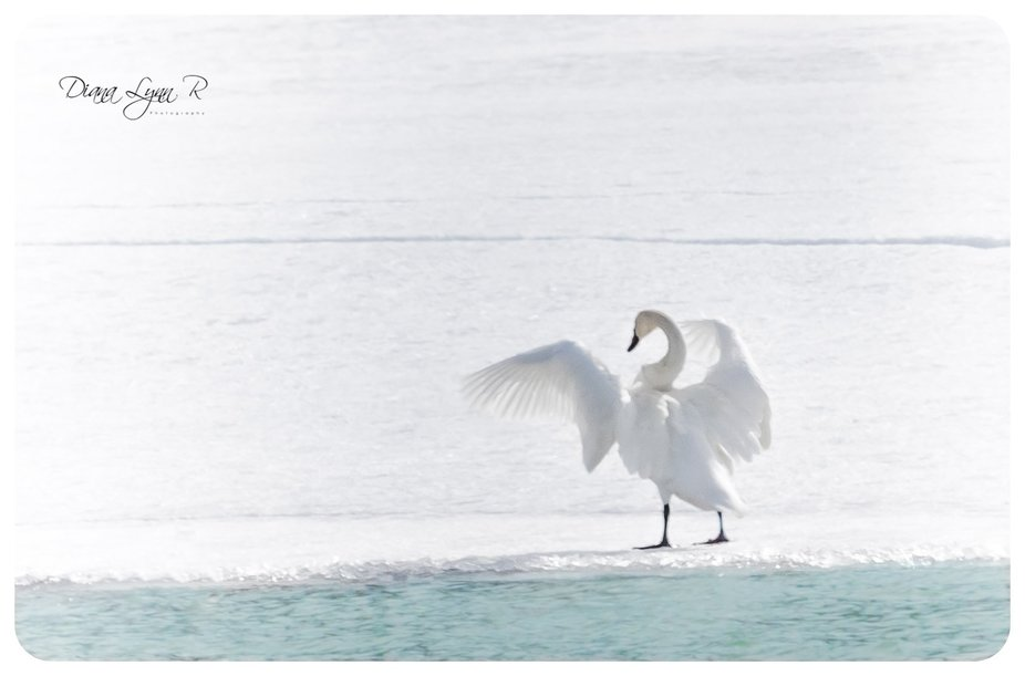 Spring is here when our swans come back north to the Yukon. This guy is still waiting for the ice...