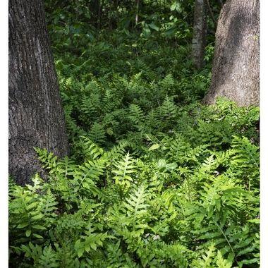 Fern Group  w Trees Border