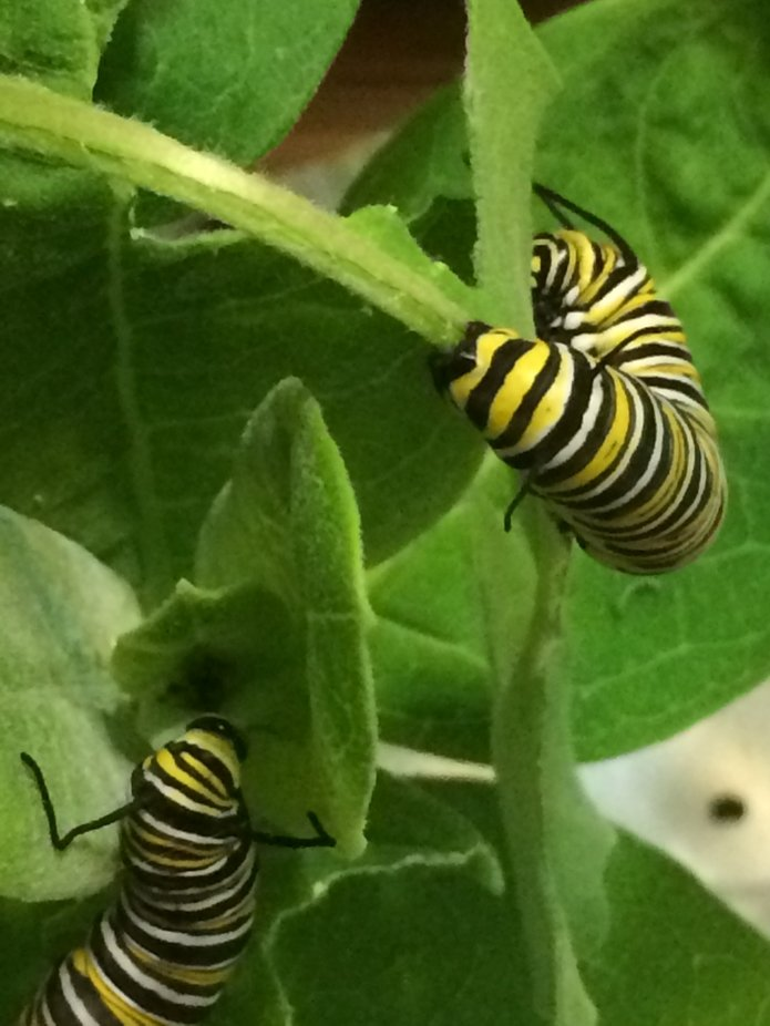 Caterpillars munching on their milkweed.