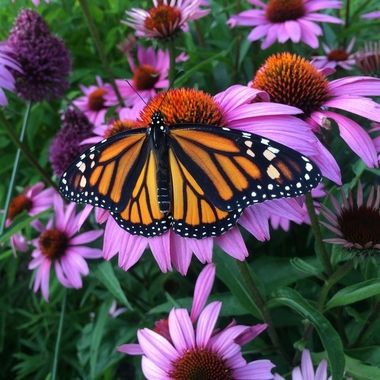 A beautiful female monarch warming her wings.