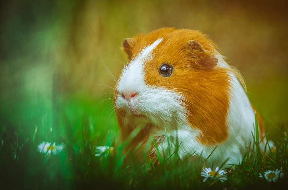 It was a cozy and relaxing day for the Guinea pig wandering around in the garden.