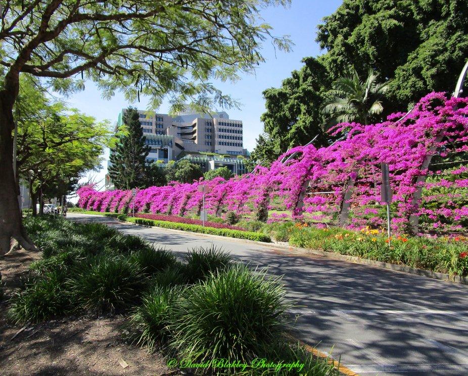 Bougainvillea arbor in Southbank Brisbane, Queensland, Australia.