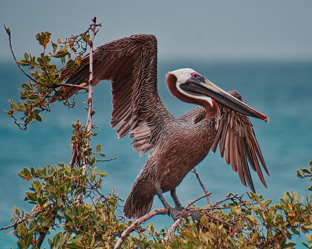 Brown pelican showing off for his mate.  Photo taken on Aruba