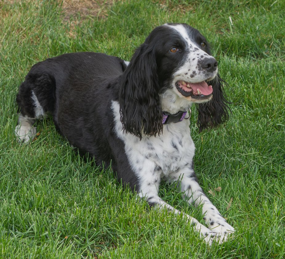 Springer Spaniel - Animal Portrait