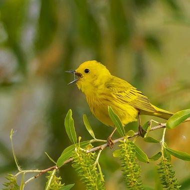 Yellow Warbler DSC02030