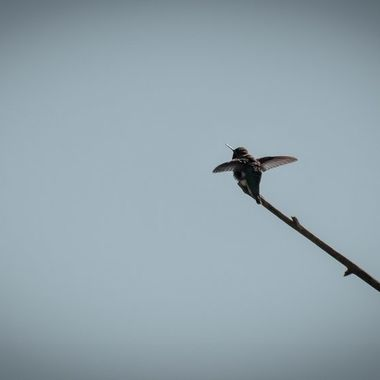 This Hummingbird is just about to zip away fast, as he begins to flap its wings at amazing speeds
