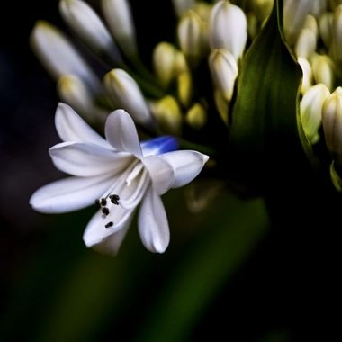 African Lily of the Nile Bloom NW