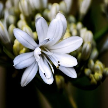 African Lily of the Nile Blossom NW