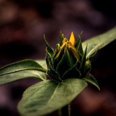 Sunflower Bud in Last Light NW