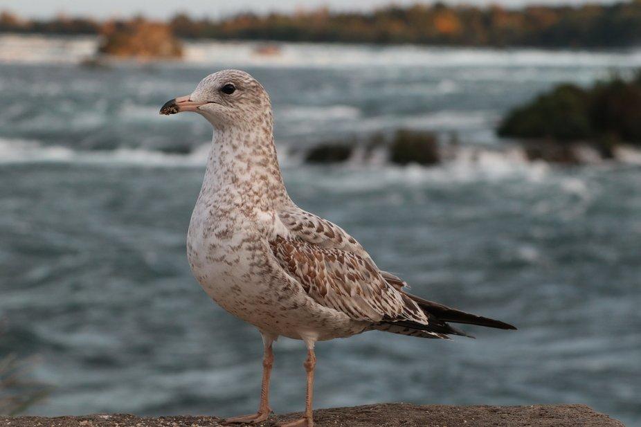Young seagull at Niagara Falls