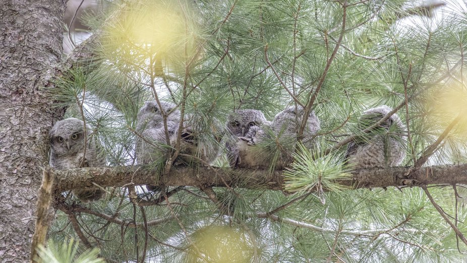 A family of Eastern Screech Owlets all snuggled up in a tree. These are 6 of the cutest little bu...