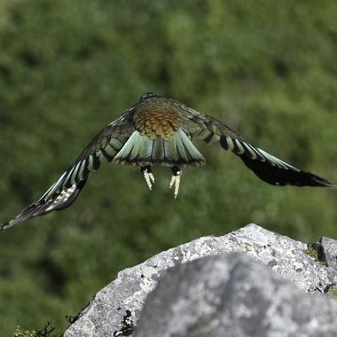 Mountain Parrot Kea