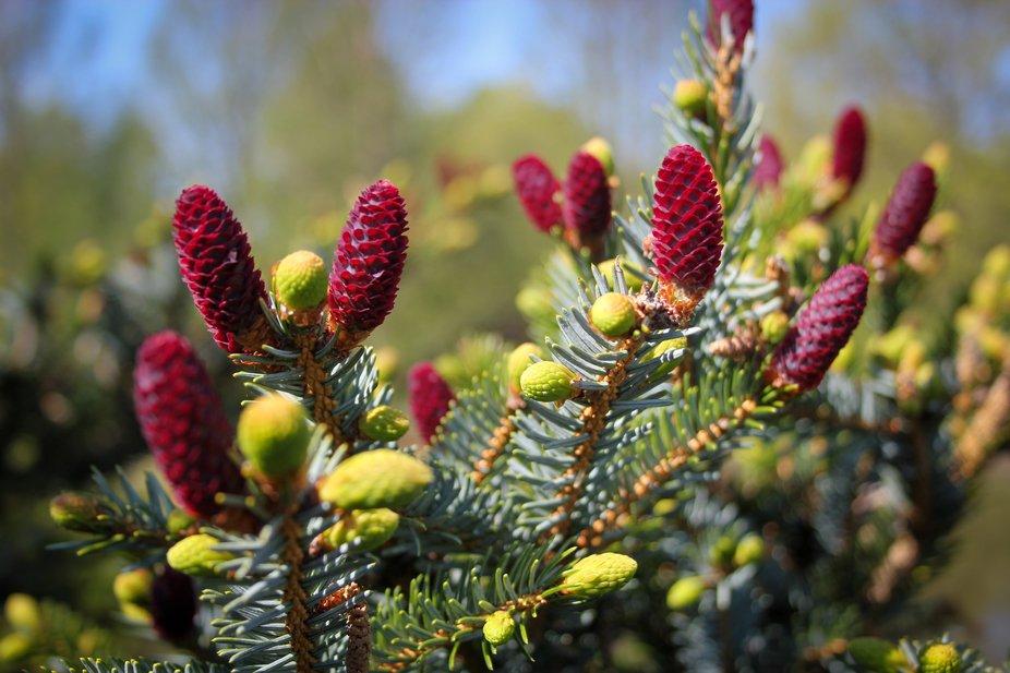 Evergreen Spring