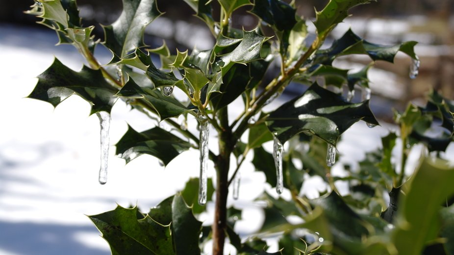 The beauty of holly decked with ice.