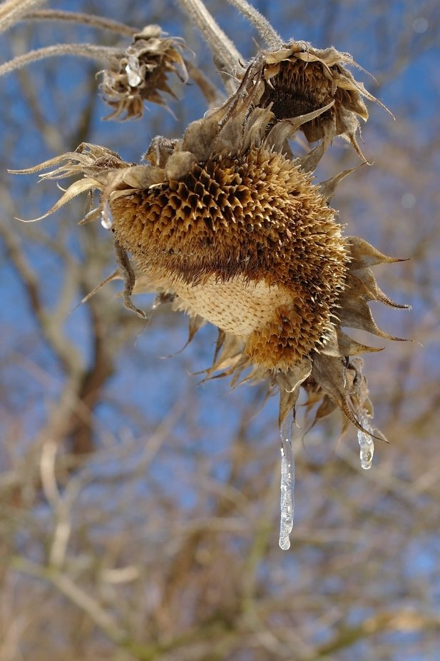 We had a strange spring. Snow and ice in April and May. I noticed the sky was blue, the sun was shining making all the ice glow.  I grabbed my camera and got the chance to catch the beauty of fading sunflowers.