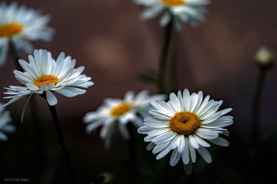 DSC03434 Daisy Cluster