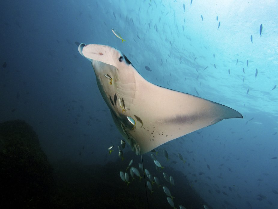 another shot of a manta ray, this time with a following of smaller fish. these are no easy to cap...