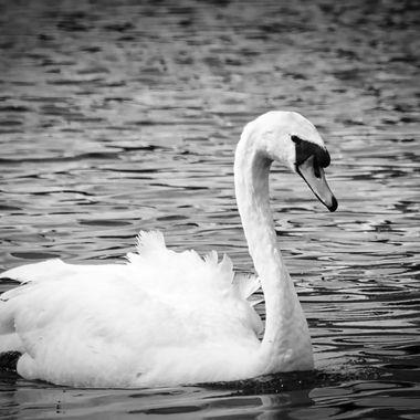 Mute swan in b&w