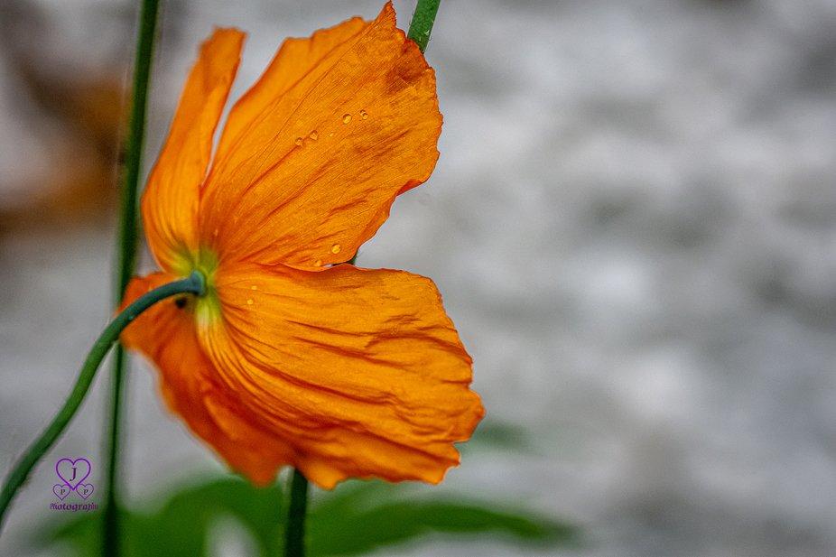 Orange Poppy4red