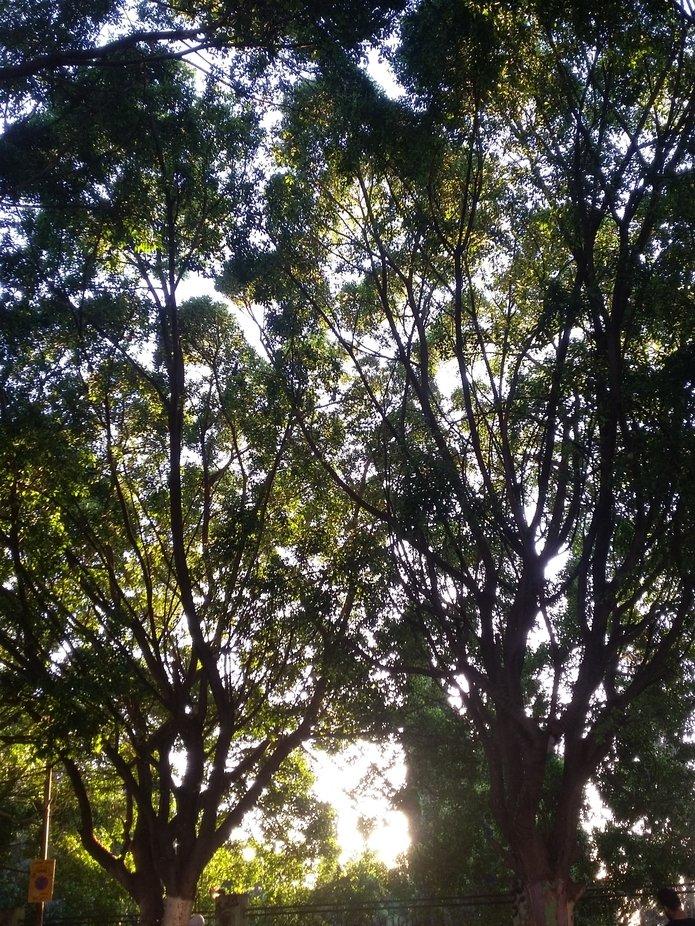 Nablus Trees