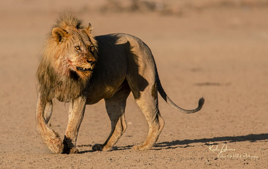 Lion after dinner @ Kgalagadi Transfrontier Park, South Africa