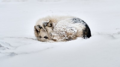Greenlandic sleddog lying rolled up in a snowstorm in Ilulissat.