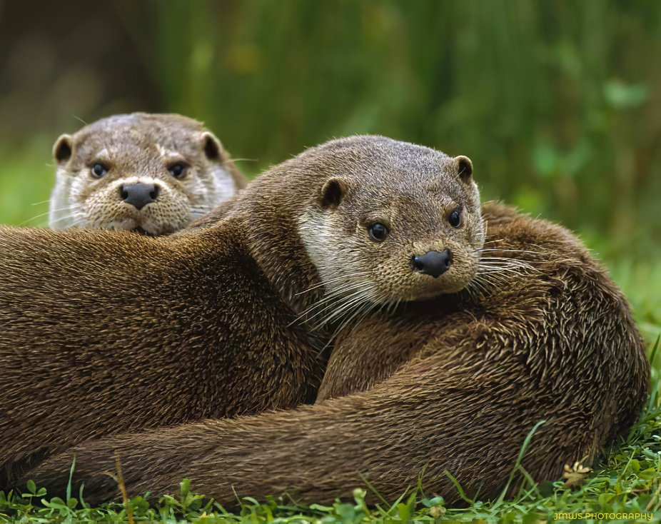 Two of our local otter clan on The River Eden, resting on the river bank. The only time they are ...