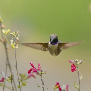Black-chinned Hummingbird DSC04110