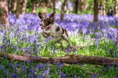 Leaping into the Bluebells