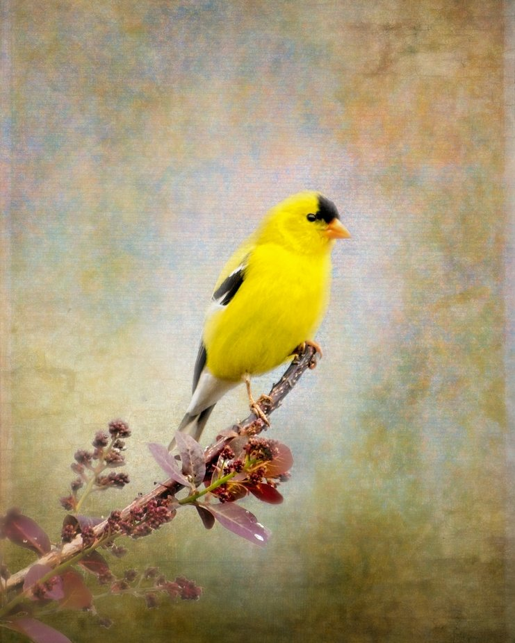 A goldfinch is perched on a neighbors Smoke Tree. Textured to create a painterly look.
