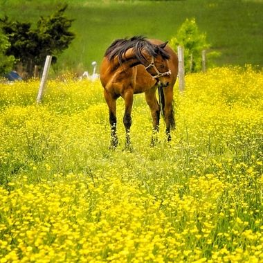 I pass a field of gold wildflowers as I walk in our neighborhood. There are two horses that wander through the fields creating beautiful contrast.