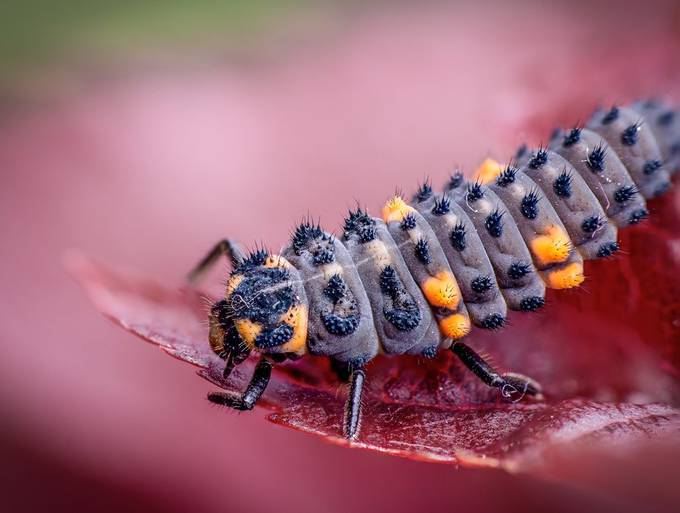 Ladybird larvae by Joeandkibo - Picture Insects Photo Contest