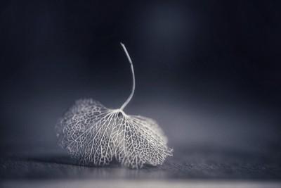 Skeleton hydrangea