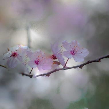Flowering Plum in my Garden