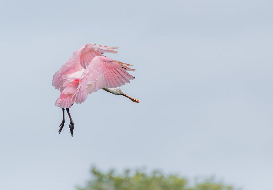 Rosette Spoonbill coming in for landing